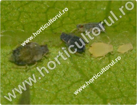 Paduchele verde al castravetilor (Aphis gossypii)