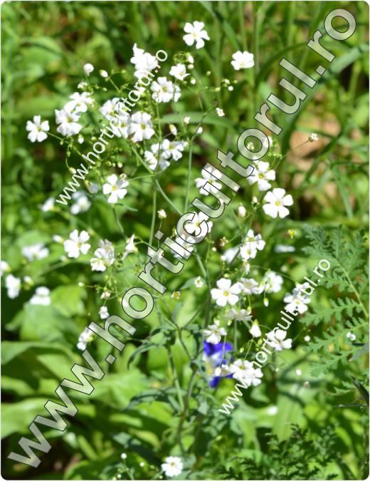 Floarea miresei (Gypsophilla spp.)