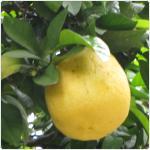 Pomelo-Citrus maxima