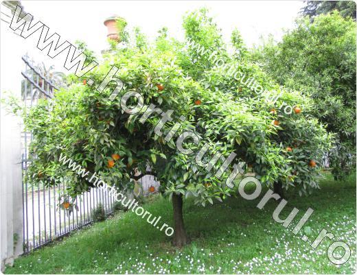 Portocalul cu portocale amare (Citrus aurantium)