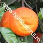 Portocala amara-Citrus aurantium