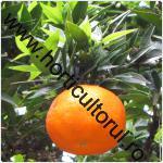 mandarinul-Citrus reticulata