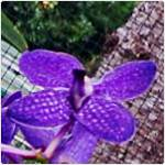 orhidee albastra-Vanda coerulea_150