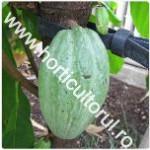 Arborele de cacao-Theobroma cacao