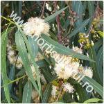 Eucalipt-Eucalyptus globulus