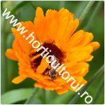 Galbenele-Calendula officinalis-flori