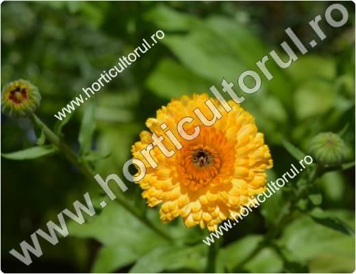 Galbenele-Calendula officinalis-flori_2