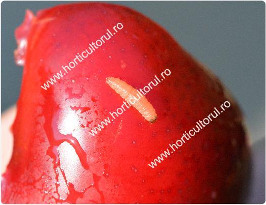 Molia orientala a fructelor de prun