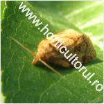 Molia orientala a fructelor-Cydia molesta