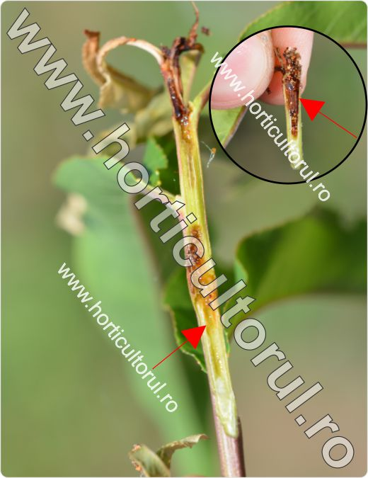 Molia orientala a fructelor-Cydia molesta_lastar de piersic