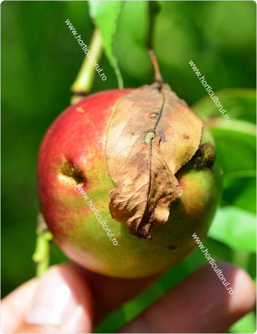 Molia orientala a fructelor-Cydia molesta_nectarin