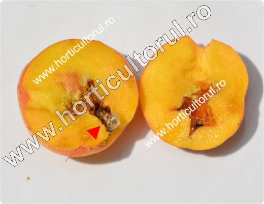 Molia orientala a fructelor-Cydia molesta_Grapholita molesta