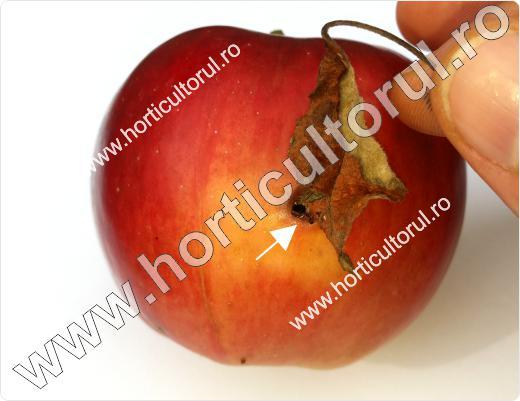 Fig. 14 Molia orientala a fructelor de mar (Cydia molesta), atac pe fruct