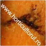 Musca morcovului-Psila rosae