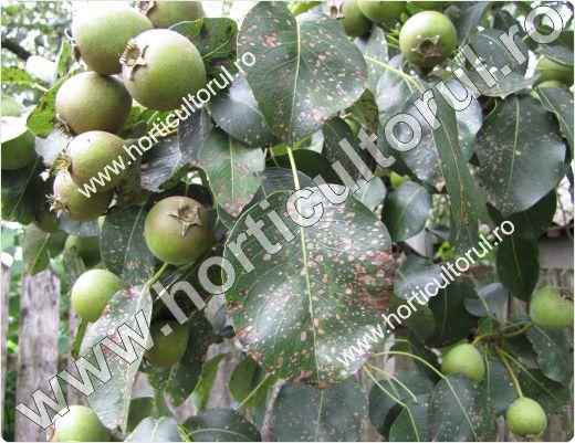 Patarea alba-Septorioza frunzelor de par (Mycosphaerella pyri)