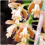 Orhideea curcubeu-Epidendrum radicans