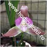 Orhideea_Lycaste_1