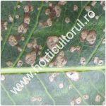 Patarea alba-septorioza frunzelor de par-Mycosphaerella pyri