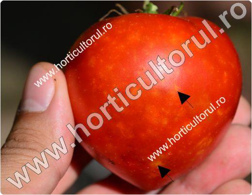 Plosnita verde a tomatelor - rosiilor (Nezara viridula)