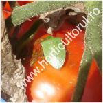 Plosnita verde a tomatelor-rosiilor-Nezara viridula-1