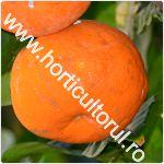 Portocal dulce-Citrus sinensis_150