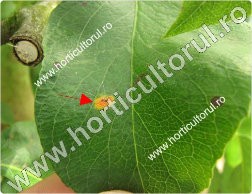 Rugina parului-Gymnosporangium fuscum