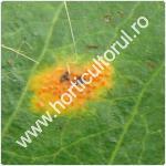 Rugina parului-Gymnosporangium sabinae