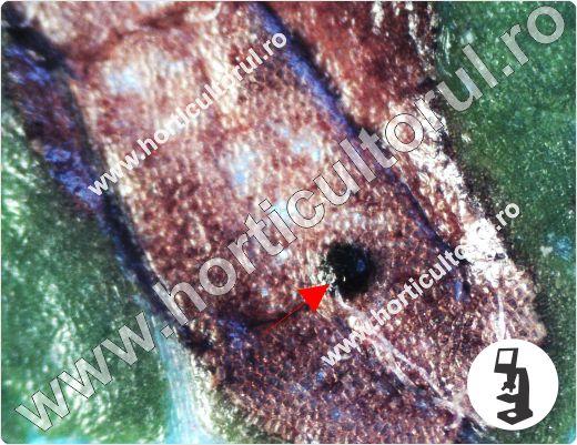 Septorioza frunzelor de par (Mycosphaerella pyri)
