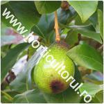 arborele de avocado-Persea americana