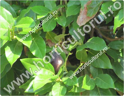 arborele de avocado-Persea americana_2
