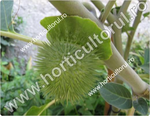 Trompeta Diavolului- Ciumafaia  (Datura stramonium)