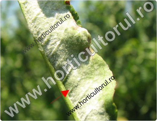 Fainarea piersicului & nectarinului (Sphaerotheca pannosa)