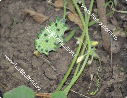 Kiwano-Cucumis metuliferus