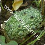 kiwano-Kivano-Cucumis metuliferus