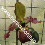 orhideea-Papucul lui Venus-Paphiopedilum dayanum