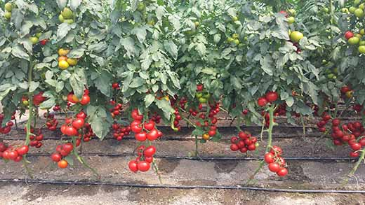 tomate_520