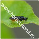 viespea merelor-Hoplocampa testudinea