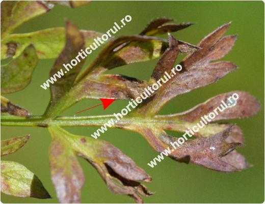 Fig. 8  Alternarioza morcovului  (Alternaria dauci)