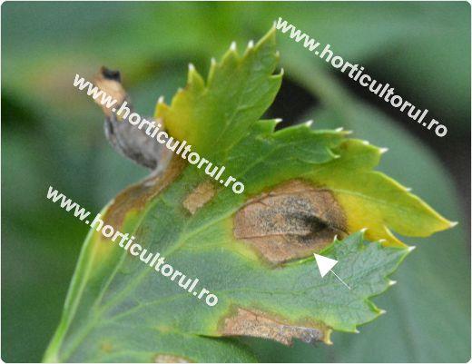 Fig. 1 Cercosporioza telinei (Cercospora apii), partea superioara afrunzei