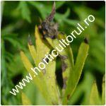 Cercosporioza morcovului-Cercospora carotae