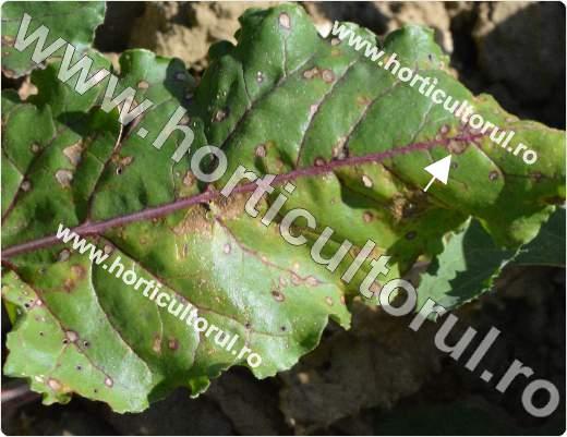 Fig. 1 Cercosporioza sfeclei (Cercospora beticola)