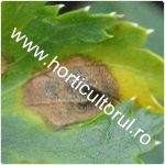 Cercosporioza telinei-Cercospora apii