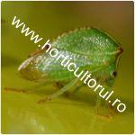 Cicada gheboasa-Ceresa bubalus_1