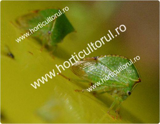 Cicada gheboasa a pomilor si vitei de vie (Ceresa bubalus)