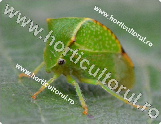 Fig. 1 Cicada gheboasa a pomilor si vitei de vie (Ceresa bubalus)