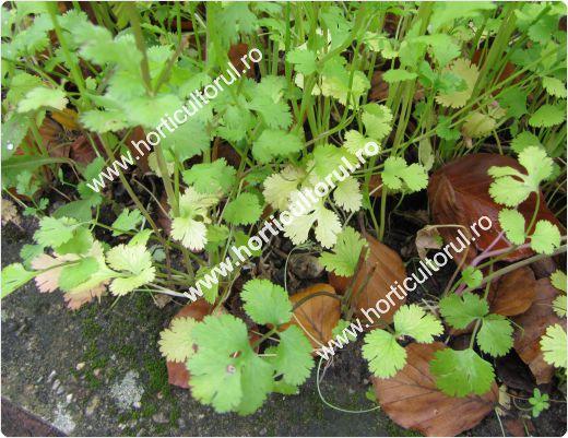 Coriandru-Coriandrum sativum_2