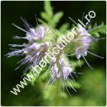 Facelia-Phacelia tanacetifolia