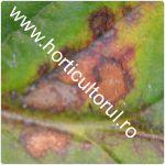 Patarea purpurie-rosie la capsun-Diplocarpon earliana