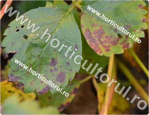 Fig. 1 Patarea purpurie-rosie la capsun (Diplocarpon earliana)