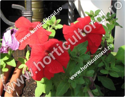 Petunii-Petunia hibrida